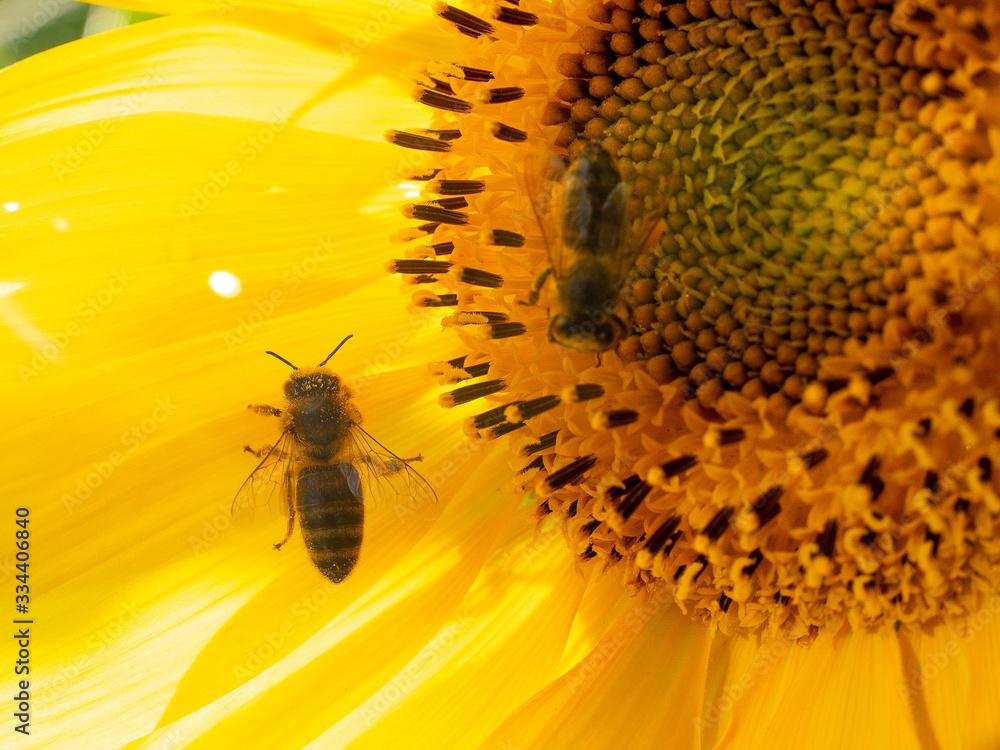 Fototapeta piękny słonecznik pszczoła