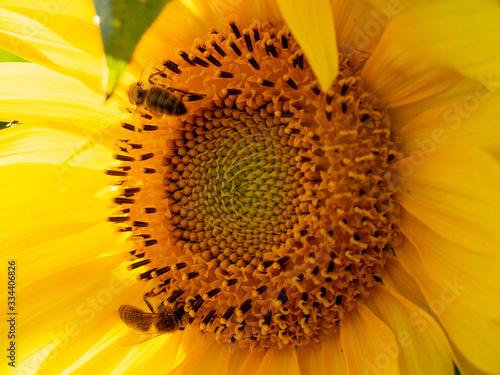Fototapeta piękny słonecznik pszczoła  obraz