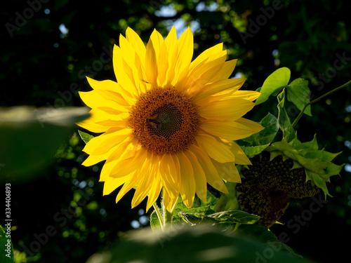 Fototapeta piękny słonecznik  obraz