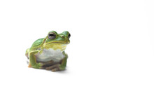 Frog On A White Background.