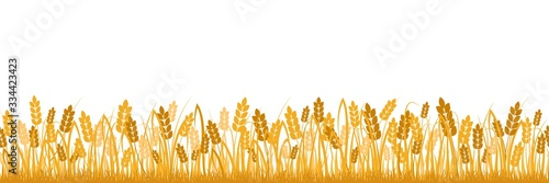 Fototapeta Cartoon yellow wheat field background isolated on white. Golden autumn harvest oat grain natural rural meadow farm agriculture landscape backdrop vector flat illustration obraz
