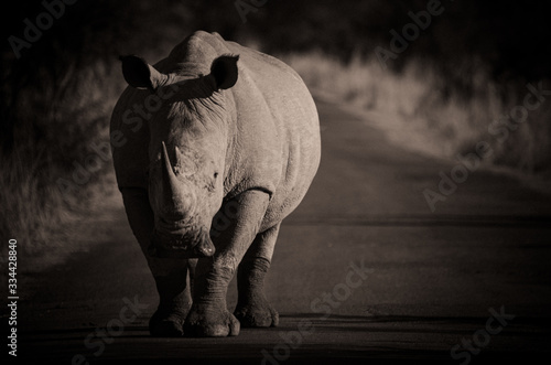 Vászonkép White Rhino in the road