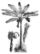 Banana Palm Tree (Pisang) / Ol...