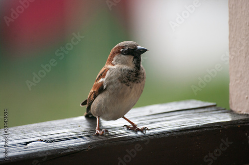 Sparrow looking for food sit on a fence at balcony Canvas-taulu