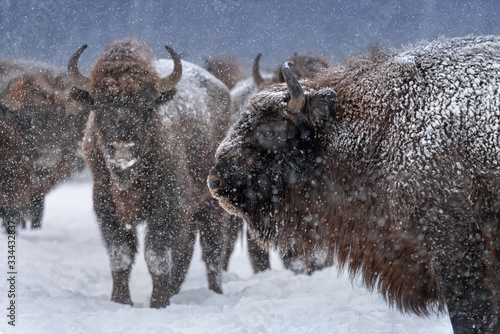 Photo Warlike Free Grazing European Wood Bison Close Up