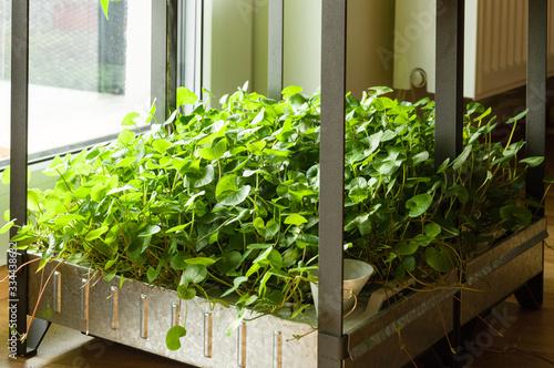 Fotografie, Tablou Indoor hydroponic garden at home growing gotu kola