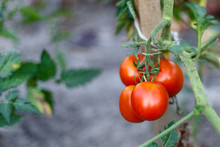 Organically Grown Tomatoes In The Greenhouse