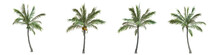 Coconut Palm Middle-size Real ...