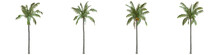 Coconut Palm Full-size Real Tr...