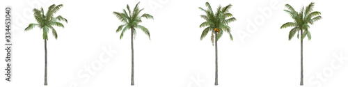 Coconut palm full-size real trees isolated on alpha channel with clipping path Canvas Print