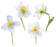 Watercolor White Narcissus Flo...