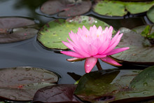 Beautiful Lotus Flower Or Wate...