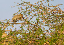 The Rock Hyrax Sitting On A Tree In The  Ein Gedi National Park