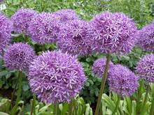 Blüten Des Allium ( Knoblauch)