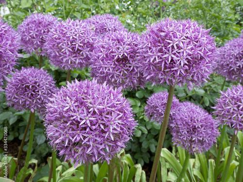 Fényképezés Blüten des Allium ( Knoblauch)