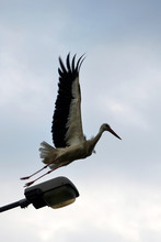 White Stork Bird In Flight