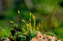 Mosses, Or The Taxonomic Division Bryophyta, Are Small Flowerless Plants That Typically Form Dense Green Clumps Or Mats, Often In Damp Or Shady Locations