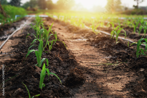 Obraz Corn grown on farmer's farms is growing. There is a mild sunlight in the evening. - fototapety do salonu
