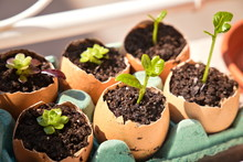 Seedling Growth In Eggshells....