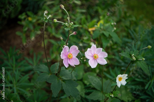 Photo Anemone hupehensis or japanese anemone with pink petals and yellow stamens