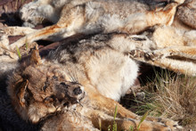 Numerous Pampas-fox Killed On ...