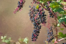 Impressionistic Style Artwork Of Nature Abstract: Ripe Pokeberries In Autumn