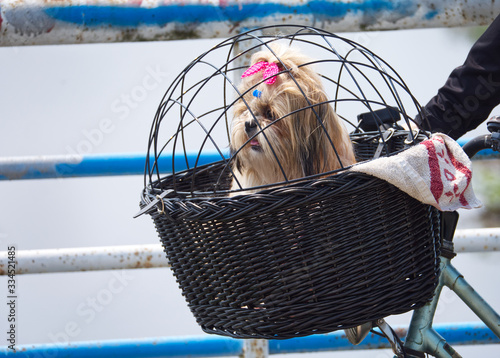 Fototapeta  Mały kudłaty piesek w koszyku na rowerze w czasie spaceru obraz