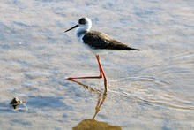 Spurwinged Stilt Standing In T...