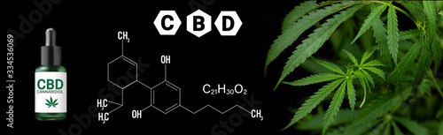 Fototapeta cannabis marijuana plan on black background with image of THC and CBD formula obraz