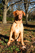 Dogue De Bordeaux Against The Backdrop Of An Autumn Park