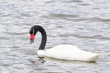 Black Necked Swan (cygnus Melancoryphus) In Southern Chile