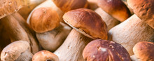Fresh Boletus Mushrooms Banner...