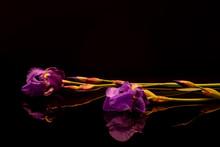 Reflets De Fleurs Et Tiges D'iris Violet Et Mauve Sur Fond Noir.