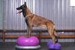 canvas print picture - Active Belgian Shepherd dog Malinois posing indoors standing on an inflatable pink balance donut and a violet balance fitbone with bumps