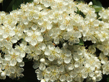 Lush Flowering Pyracantha, Family Rosaceae