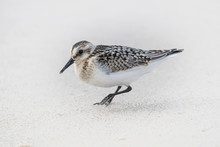 A Sandpiper Searches For Food ...