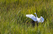 A Great White Egret Prowls The Reeds In A Marsh At The Jersey Shore
