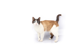 Siamese And Ragdoll Cross Cat Walking On White Background