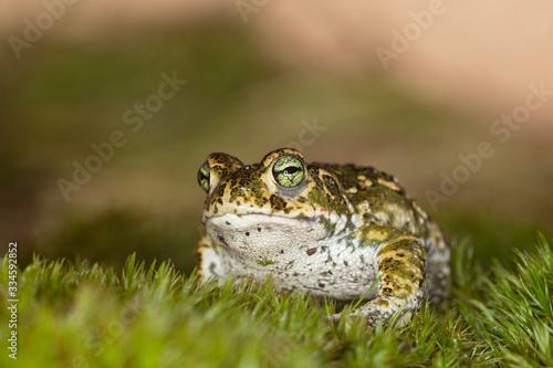 Natterjack toad (Epidalea calamita) Canvas Print