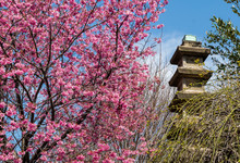 Japanese Temple With Cherry Bl...