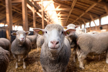 Sheep Looking At Camera In The...