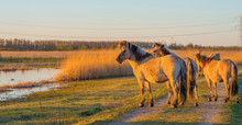 Horses In A Field Along The Edge Of A Lake Below A Blue Sky In Sunlight At Sunrise In Spring