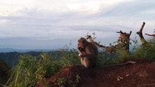 Wild Mother Monkey Sits And Eats As Cute Baby Clings To Her Belly, Bali