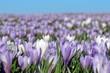 Krokuswiese, Blumenwiese im Frühling zu Ostern