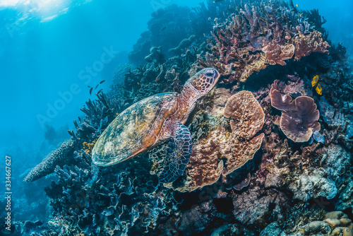 Green sea turtle swimming in the wild among pristine and colorful coral reef #334667627