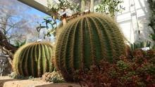 Schwiegermuttersitz Kaktus Rie...