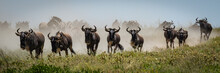 Panorama Of Blue Wildebeest Ga...