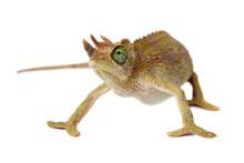 Jackson's Horned Chameleon, Tr...