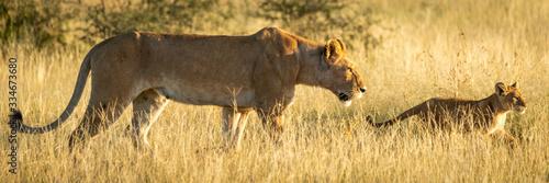 Fototapeta Panorama of lioness and cub in savannah