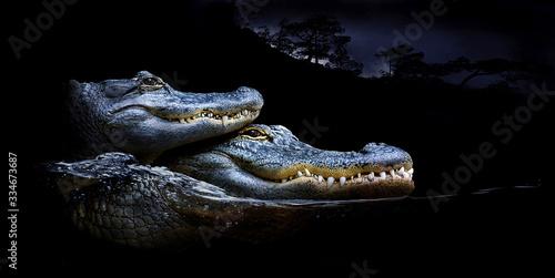 Photo Mississippi-Alligator (Alligator mississippiensis) zwei Tiere übereinander